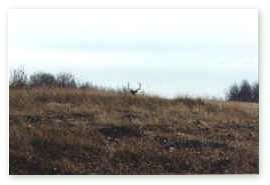 Professional hunter Ron Popowich attempts to 'cow call' this record book bull elk across a clearing and to the edge of the bush line where he is hiding.  Click on image for full size view.